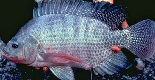 Dari Kolam Inilah Kisah Sukses Chandra Ekajaya Berbisnis Ikan Nila Sultana